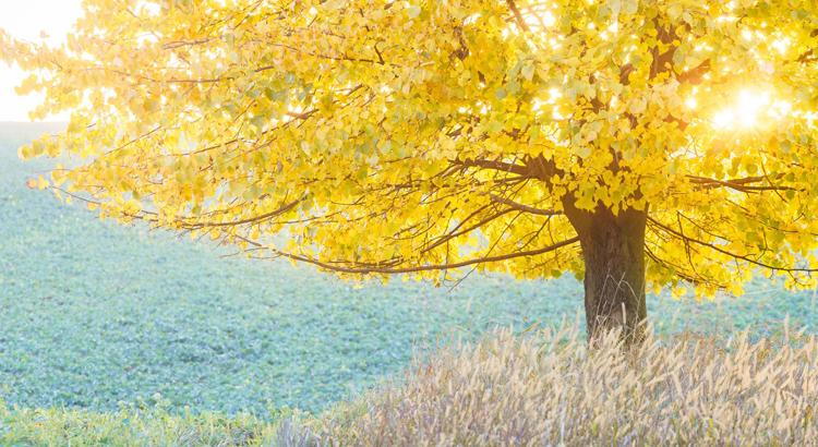 linde-boom-herfst